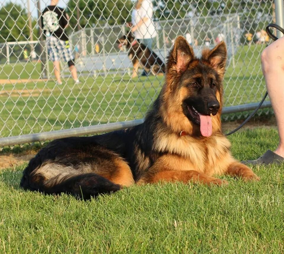 BergerHaus Long Coat German Shepherds